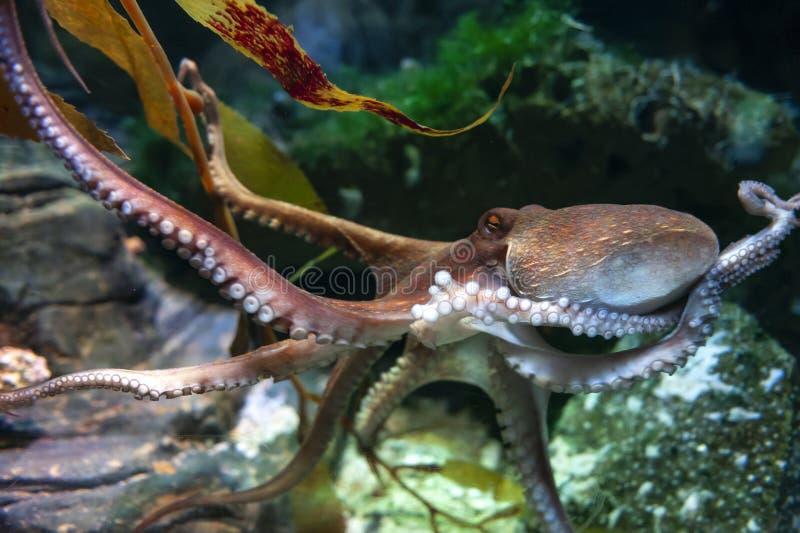 Ośmiornicy ośmiornica vulgaris, bodied, zbrojący małż grupujący wśród klasowych Cephalopoda z kałamarnicami, cuttlefish obraz stock