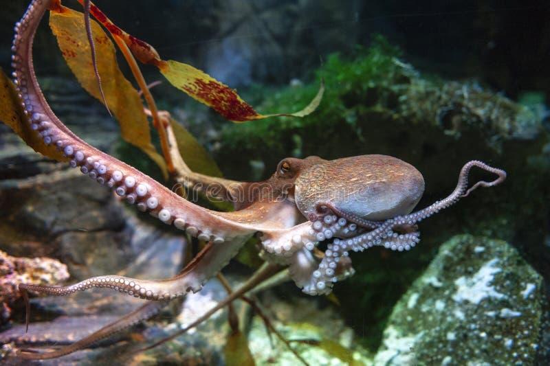 Ośmiornicy ośmiornica vulgaris, bodied, zbrojący małż grupujący wśród klasowych Cephalopoda z kałamarnicami, cuttlefish zdjęcie stock