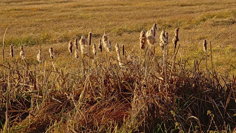 Ożypałki płochy pióropusze w bagnie backlit słońcem i kolce zdjęcie stock