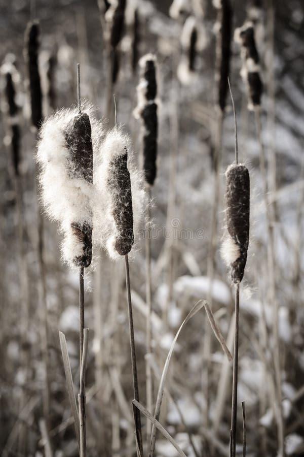 Ożypałki w zimie obraz stock