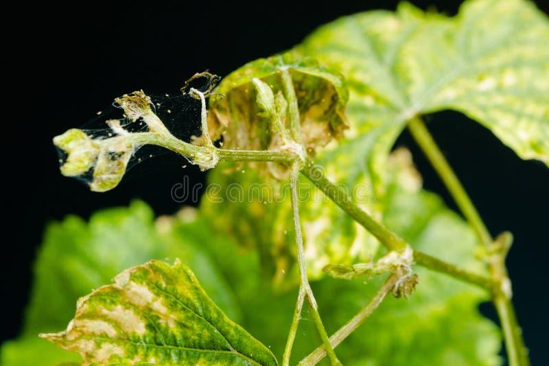 O ácaro de aranha parasita nas folhas doentes e secas das uvas, isoladas no fundo preto fotografia de stock