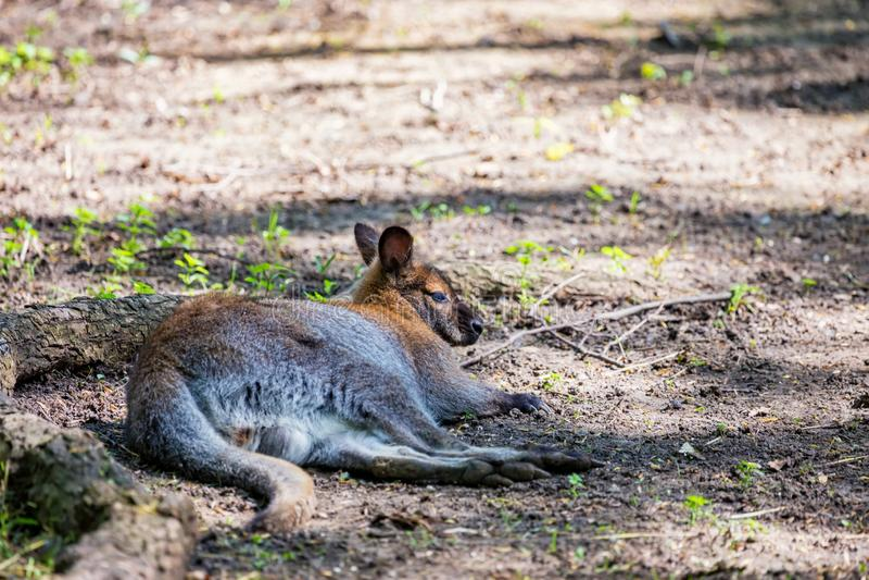 O árvore-canguru de Bennett ou o bennettianus do Dendrolagus que descansa no captiveiro fotos de stock royalty free