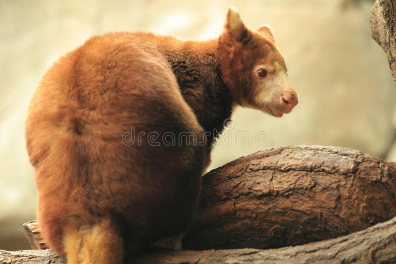 O árvore-canguru de Matschie fotografia de stock