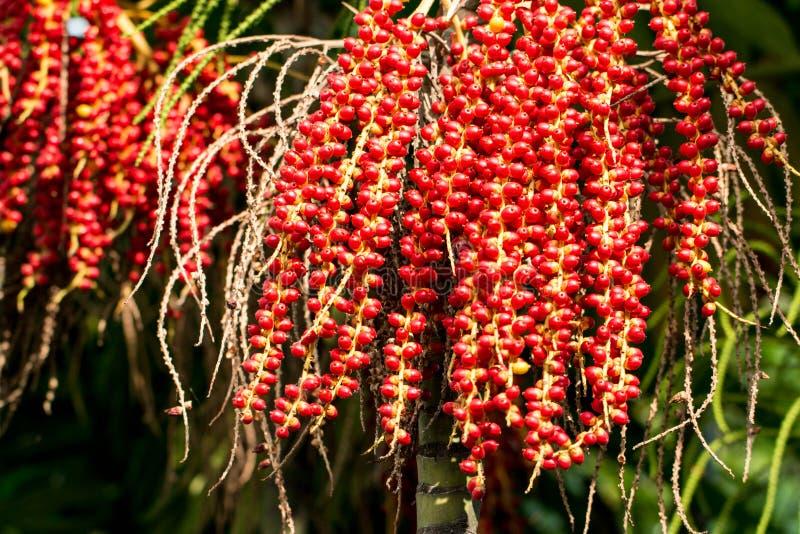 O óleo vermelho do plam e a noz de bétele madura frutificam na árvore Palma de Manila - Vei fotos de stock