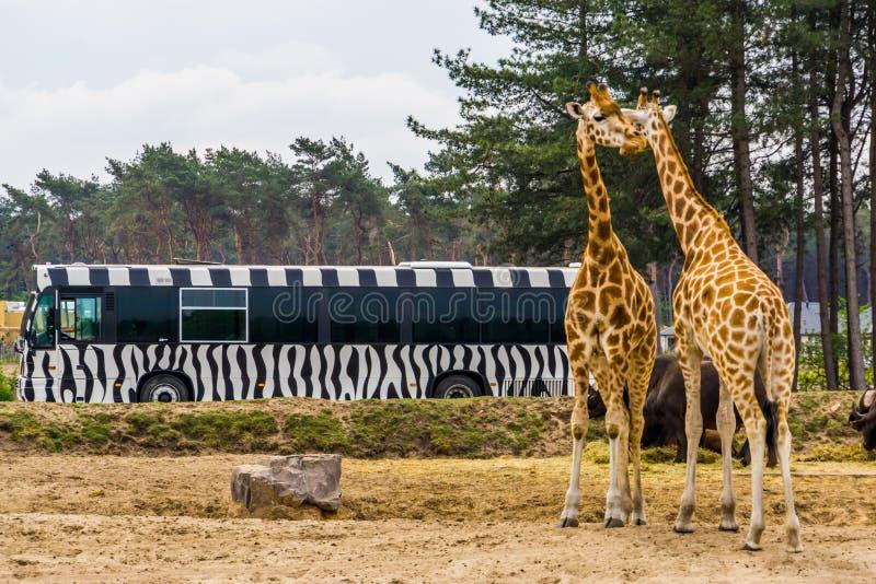 O ônibus de excursão do safari que conduz através do parque animal do jardim zoológico do beekse bergen, par no lado, Hilvarenbee fotografia de stock royalty free