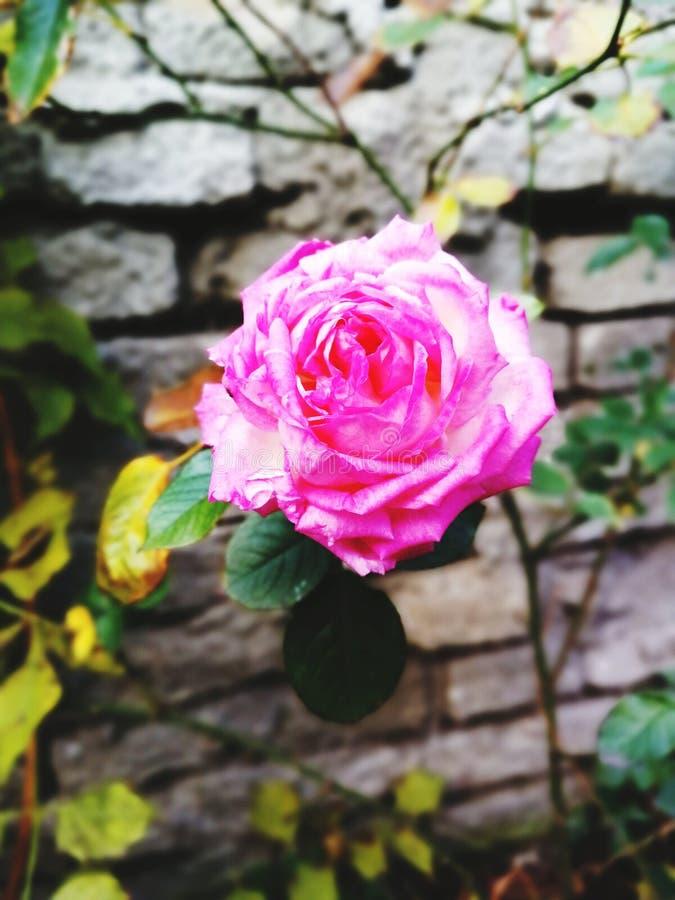 O último rosa aumentou nos ventos frios de outubro imagens de stock royalty free