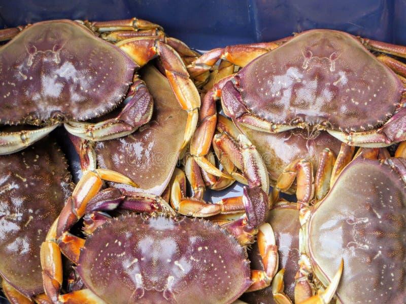 O único caranguejo de dungeness da água fresca no mundo no Coa ocidental fotografia de stock royalty free