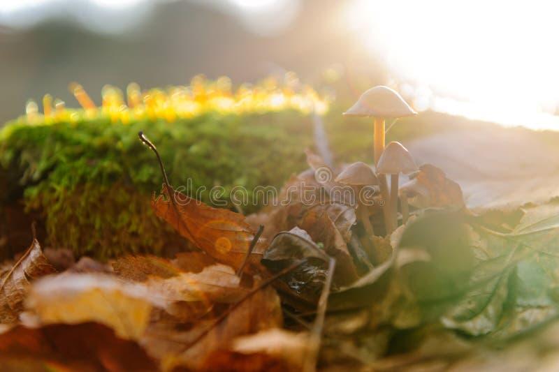 O único primeiro plano do fungo branco do cogumelo, faia sae em raios dourados do sol da floresta do outono nas folhas alaranjada imagem de stock royalty free