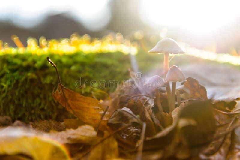 O único primeiro plano do fungo branco do cogumelo, faia sae em raios dourados do sol da floresta do outono nas folhas alaranjada foto de stock