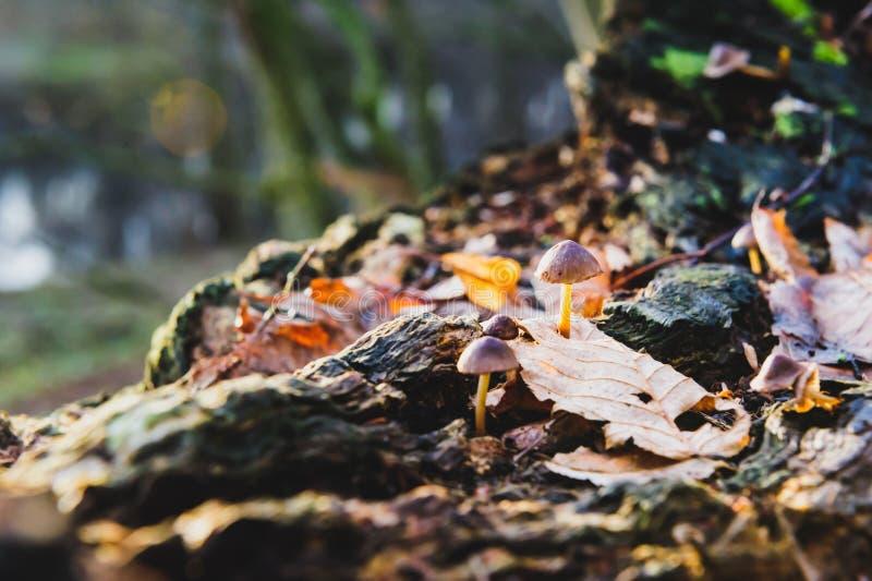 O único primeiro plano do fungo branco do cogumelo, faia sae em raios dourados do sol da floresta do outono nas folhas alaranjada fotos de stock royalty free