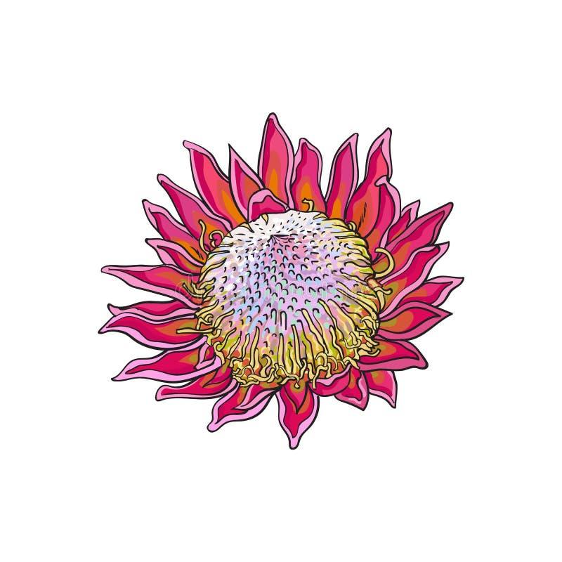 O único roxo coloriu o protea de rei, ilustração do vetor do esboço ilustração stock