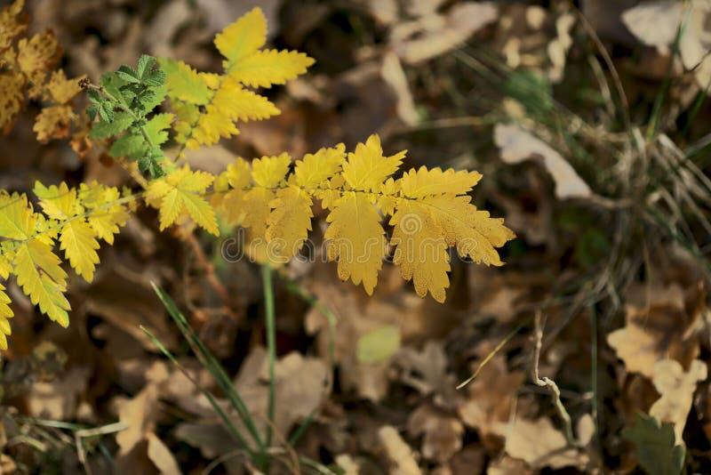 o Κίτρινα φύλλα στο υπόβαθρο των ξηρών φύλλων στοκ εικόνες