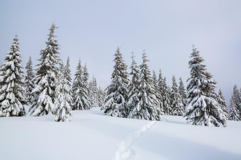 o Στάση δέντρων πεύκων σκουπισμένο στο χιόνι λιβάδι βουνών Μόλυβδοι μονοπατιών στη μυστήρια ομιχλώδη δασική τουριστική θέση στοκ εικόνα