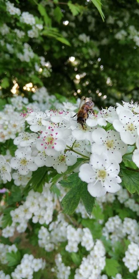 o 在山楂树花的蜂 免版税库存照片