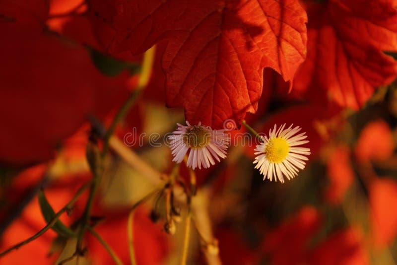 o 播种的射击在红色叶子背景的白花 E 免版税库存图片