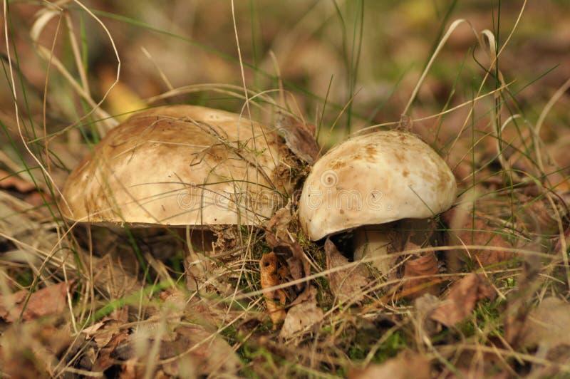 o 生长在森林里的牛肝菌蕈类 库存图片