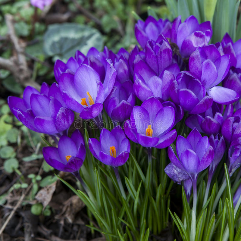 O açafrão floresce na primavera o tempo foto de stock royalty free