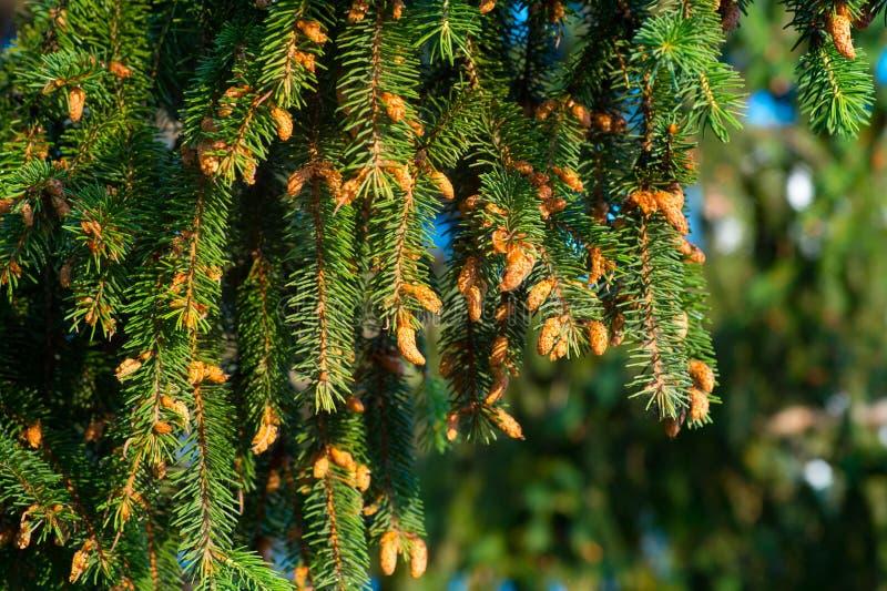 O abeto do close-up ramifica com muitos cones, inverno Natal, feliz fotos de stock