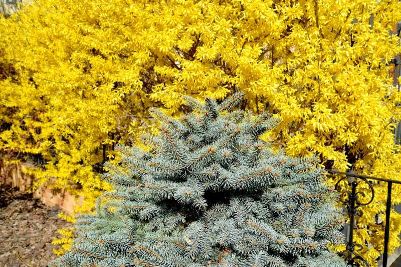 O abeto vermelho canadense azul e o europeu de floresc?ncia do forzition crescem em um jardim Mola imagem de stock