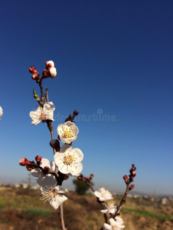 O abricó floresce a flor bonita da mola da flor foto de stock