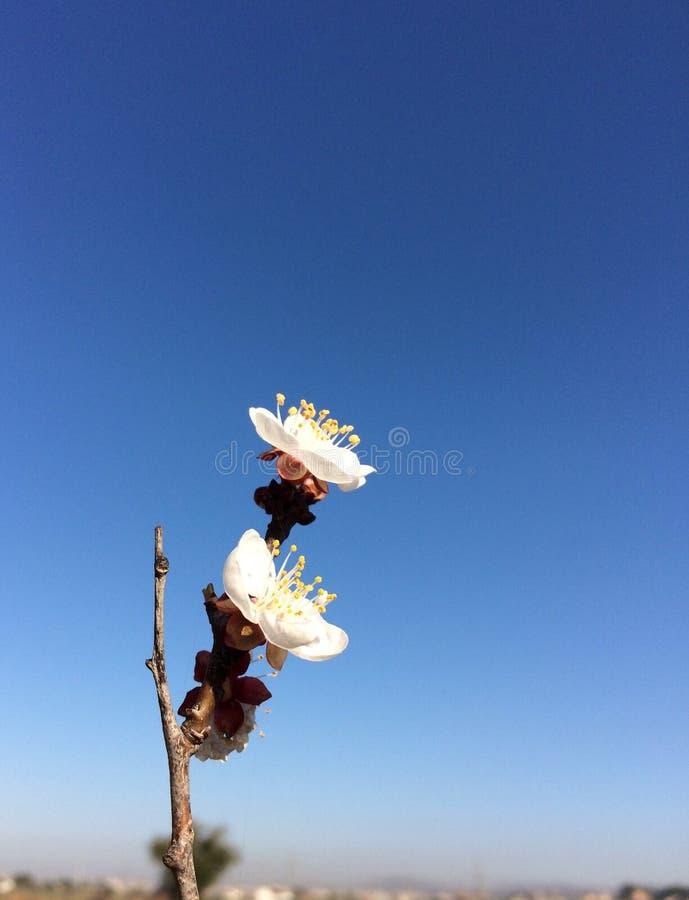 O abricó floresce a flor bonita da mola da flor foto de stock royalty free