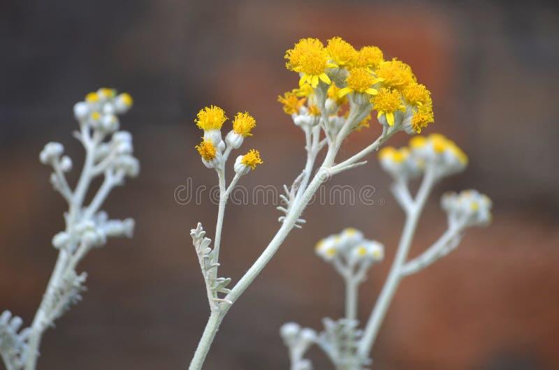 O absinto da flor imagens de stock royalty free