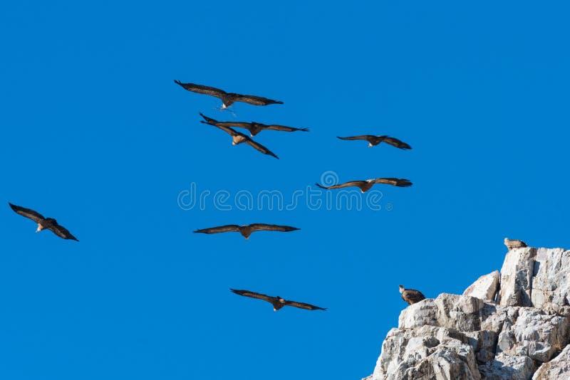 O abutre de Griffon Gyps o fulvus em Extremadura fotografia de stock royalty free