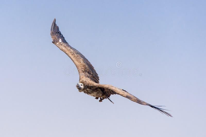 O abutre de griffon Gyps o voo do fulvus acima das árvores verdes sobe com sua envergadura enorme em um céu azul imagem de stock royalty free