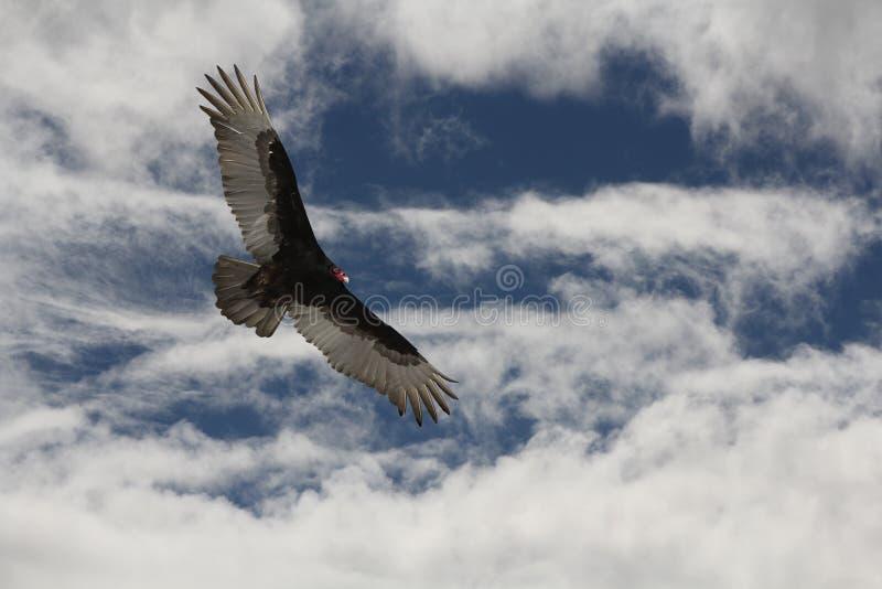 O abutre Ive de Turquia começ meus olhos em você imagem de stock