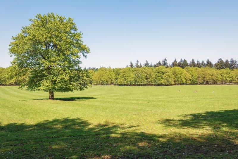 O acampamento dos cervos do parque do gabinete situado em Apeldoorn foto de stock