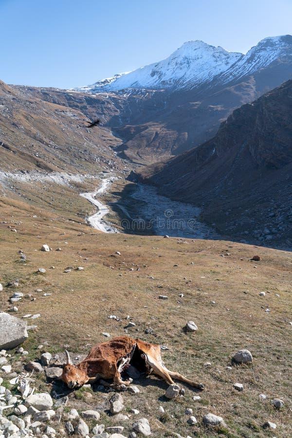 O acidente com a vaca na estrada da estrada em Jammu e Caxemira fotos de stock royalty free