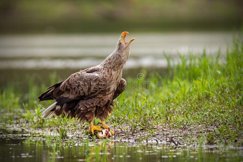 O adulto branco-atou a águia, albicilla do haliaeetus, no verão gritando imagem de stock royalty free
