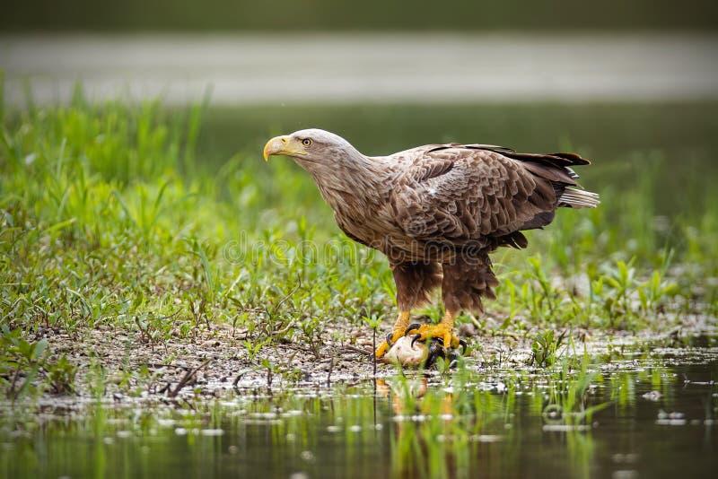 O adulto branco-atou a águia, albicilla do haliaeetus, no verão que senta-se em um banco imagem de stock royalty free