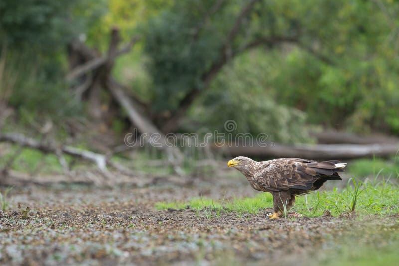 O adulto branco-atou a águia, albicilla do halitaeetus, no ambiente natural que alimenta em um peixe catched fotos de stock royalty free