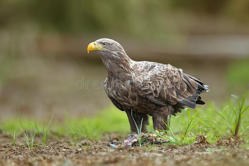 O adulto branco-atou a águia, albicilla do halitaeetus, no ambiente natural que alimenta em um peixe catched fotos de stock