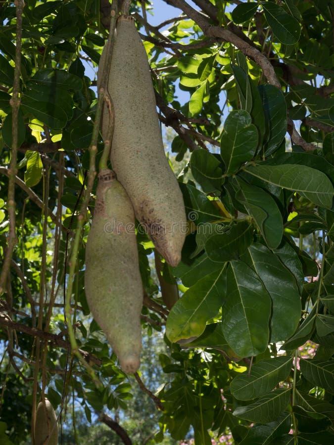O africana 'árvore da salsicha 'ou Bignoniaceae de Kigelia é somente uma espécie, que ocorre durante todo África tropical foto de stock