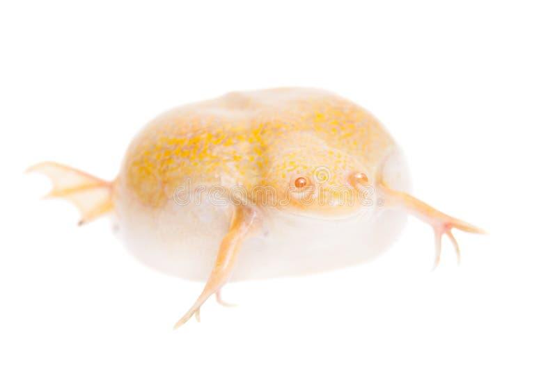 O africano do albino agarrou a rã no fundo branco foto de stock