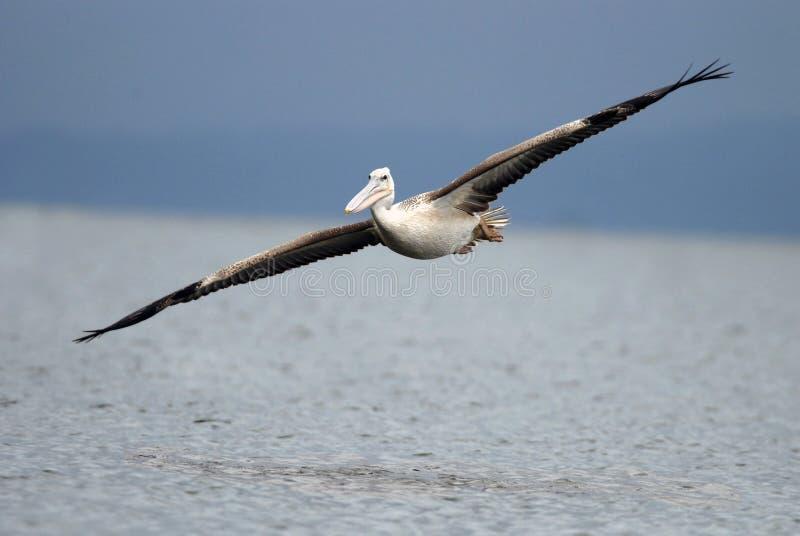 O africano do pelicano, pica o pelicano suportado, rufescens do Pelecanus fotografia de stock