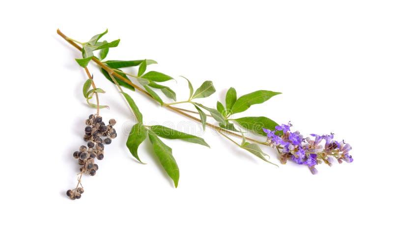 O agnus-castus de Vitex, igualmente chamou o vitex, árvore ou chastetree puro, bálsamo chasteberry, de Abraham, chastetree lilás  foto de stock