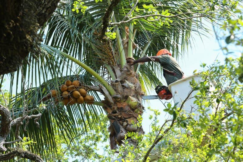 O ajustador da árvore limpa as frondas da palma em uma palmeira de coco imagens de stock royalty free