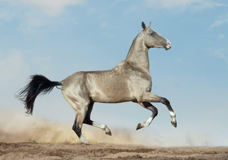 O akhal-teke dourado do dun com olhos azuis corre no deserto foto de stock