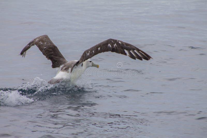 O albatroz começa voar fora do mar imagem de stock royalty free
