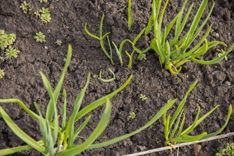 O alho brotou no jardim Folhas verdes do alho foto de stock royalty free