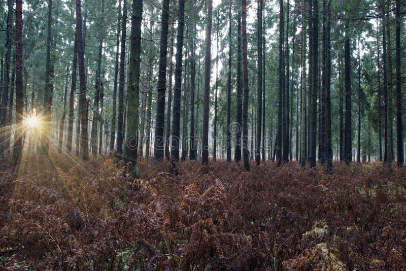 O alvorecer na floresta do abeto vermelho, o sol brilha através dos troncos das árvores e ilumina a samambaia desvanecida marrom  imagens de stock royalty free