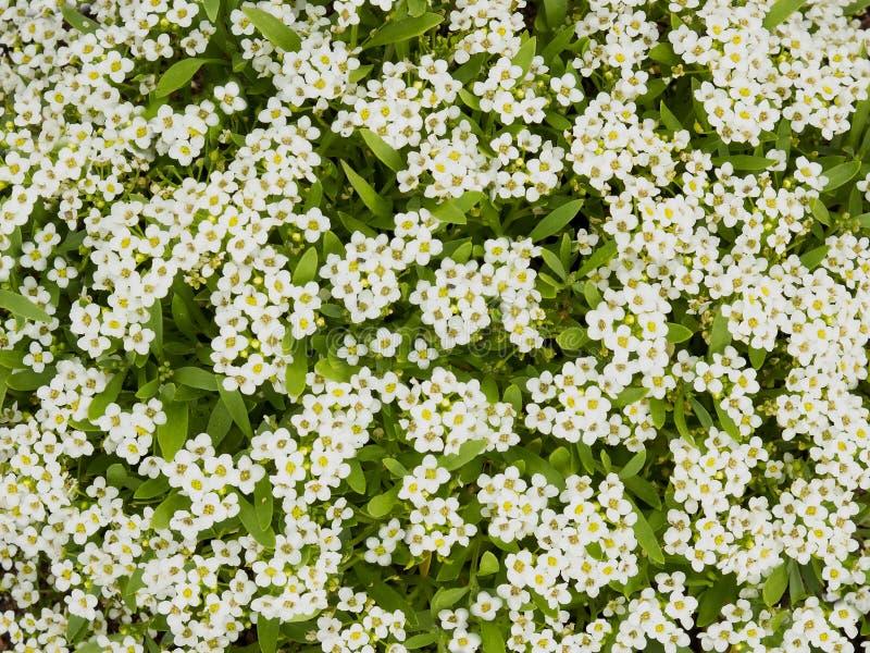 O Alyssum pequeno consideravelmente branco floresce a florescência em um jardim, neve Ca imagens de stock