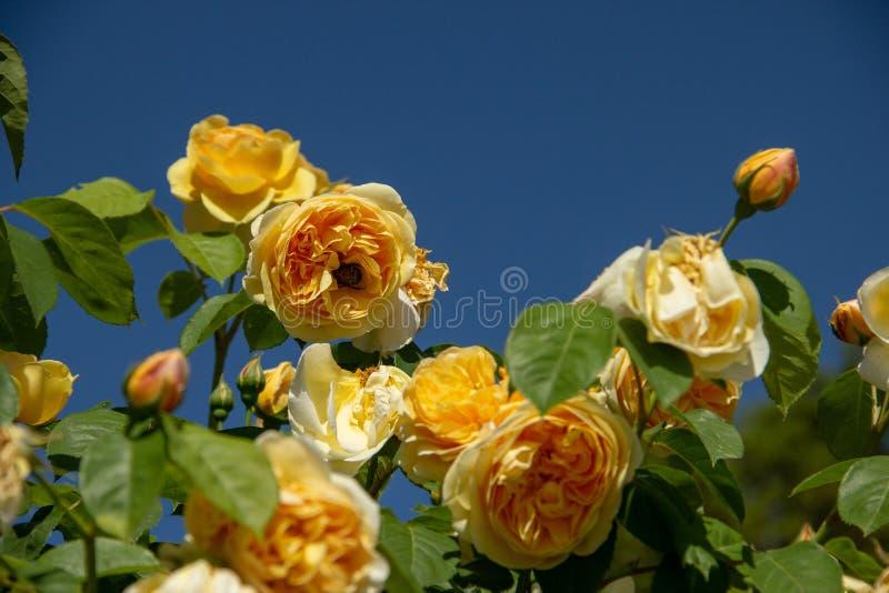 O amarelo aumentou com tropeça a abelha no fundo do céu azul imagem de stock royalty free