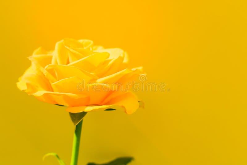 o amarelo aumentou em um fundo azul Copie o espa?o postcard fotos de stock royalty free
