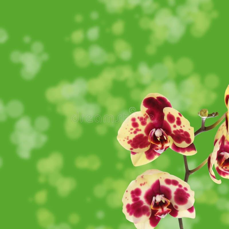O amarelo bonito com vermelho mancha a orquídea imagens de stock royalty free