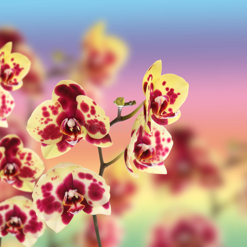 O amarelo bonito com vermelho mancha a orquídea foto de stock royalty free