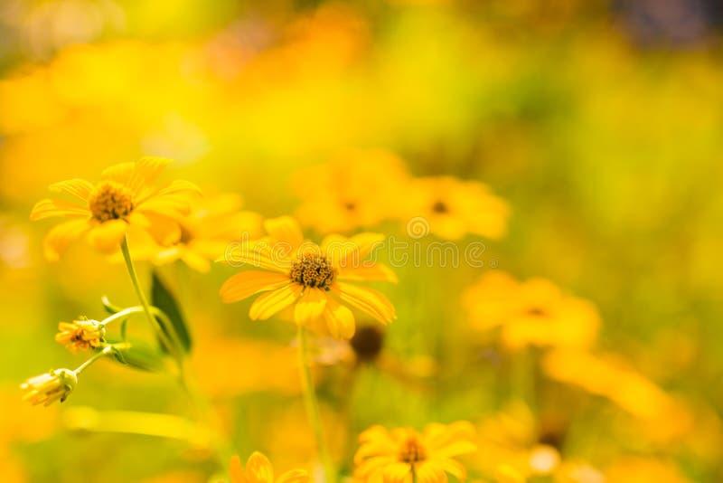 O amarelo bonito do verão floresce com fundo borrado do bokeh fotografia de stock royalty free